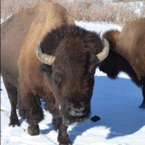 Photos of bison at Denver Mountain Parks
